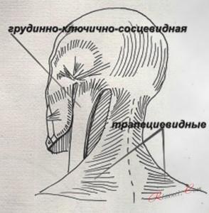 Шейные мышцы