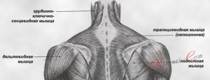 мышцы шеи и плеч, вид сзади