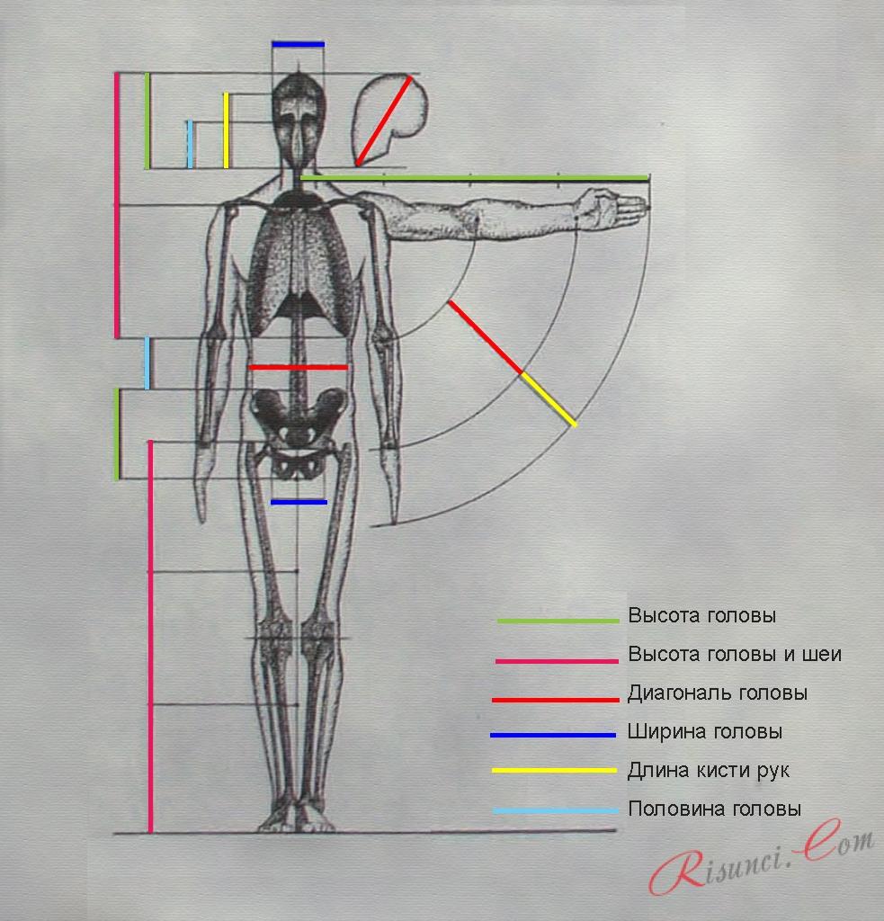 Пропорции тела: рисунок