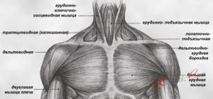 мышцы шеи и плеч, вид спереди