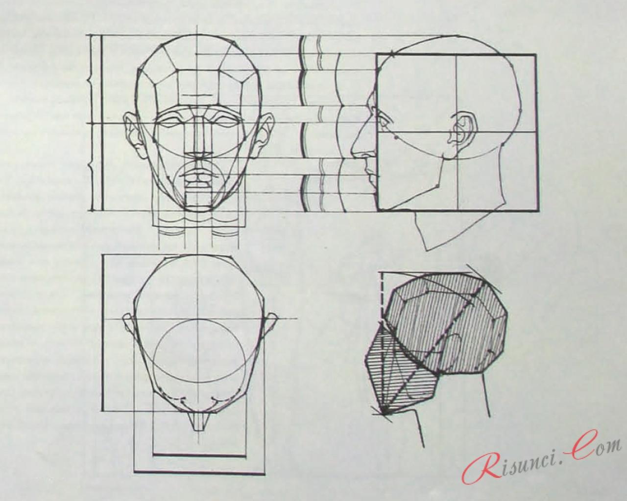 Пропорции головы при рисовании