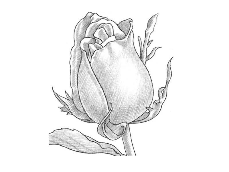 рисунки роз карандашом для срисовки, фото 4